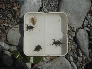ヒラタカゲロウとマダラカゲロウの幼虫