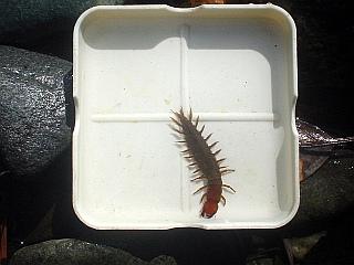 水生昆虫・ヘビトンボ