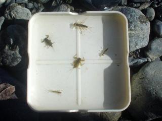 水生昆虫1
