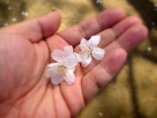 雀が落とした手前桜の花