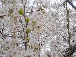 手前桜・2006