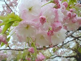 手前桜の隣の静桜