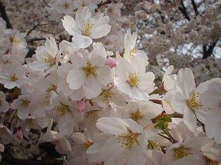 手前桜公園の桜/1
