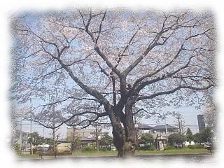 手前桜が満開