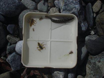奥多摩川の水生昆虫・2015年3月23日・1