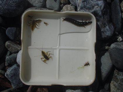 奥多摩川の水生昆虫・2015年3月23日・2