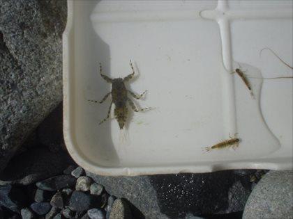奥多摩川の水生昆虫・2015年3月23日・4