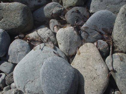 奥多摩川の水生昆虫・2015年3月23日・8
