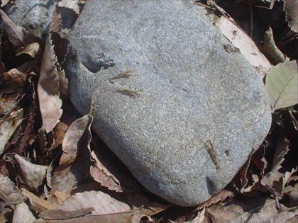 奥多摩川の水生昆虫・2015年3月23日・10