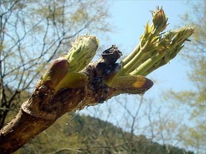 マイガーデンのタラの木