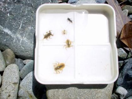 奥多摩川,水生昆虫観察1