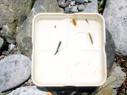 奥多摩川,水生昆虫観察2