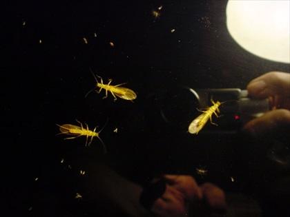 奥多摩川・2016年5月7日 水生昆虫観察1